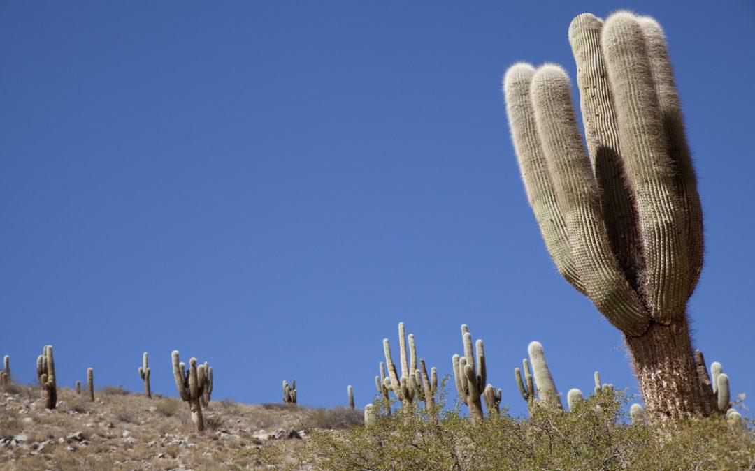 12- Pinard et cactus